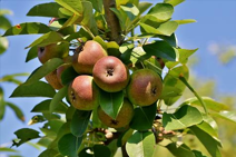 fruitbomesnoeien
